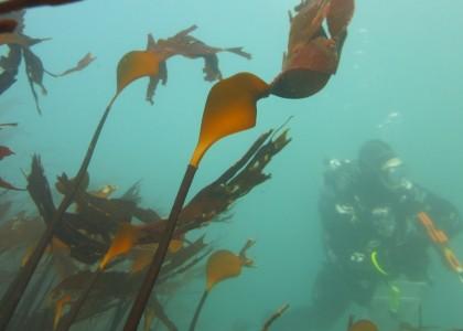 SCUBA diver in kelp