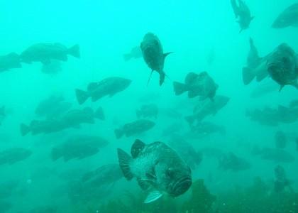 School of rockfish.