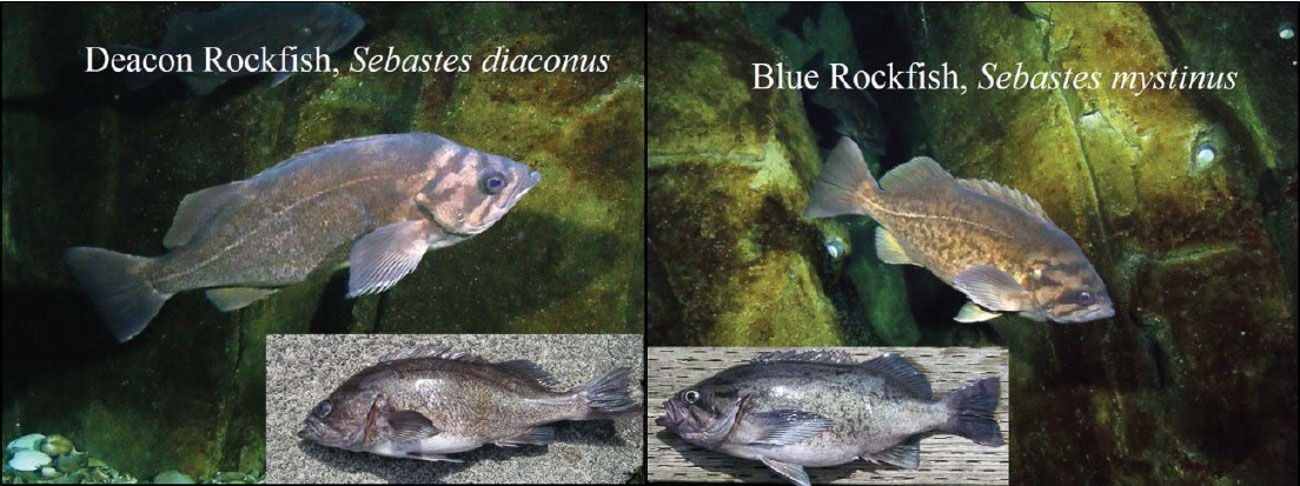 Deacon and Blue rockfish identification