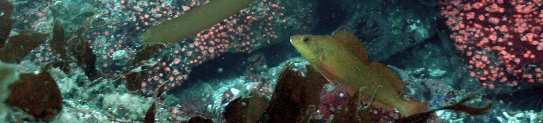 Kelp greenling