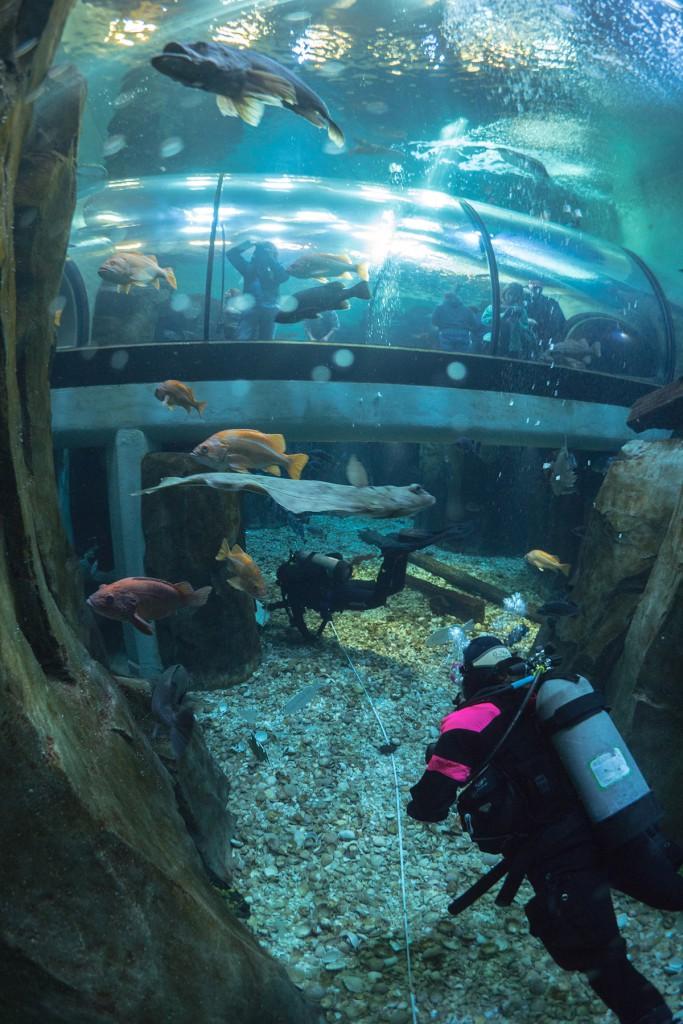 Scientific divers train inside a tank at the Oregon Coast Aquarium