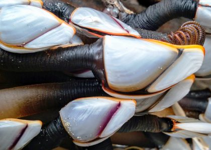 Pelagic Gooseneck Barnacles - Stephen Grace