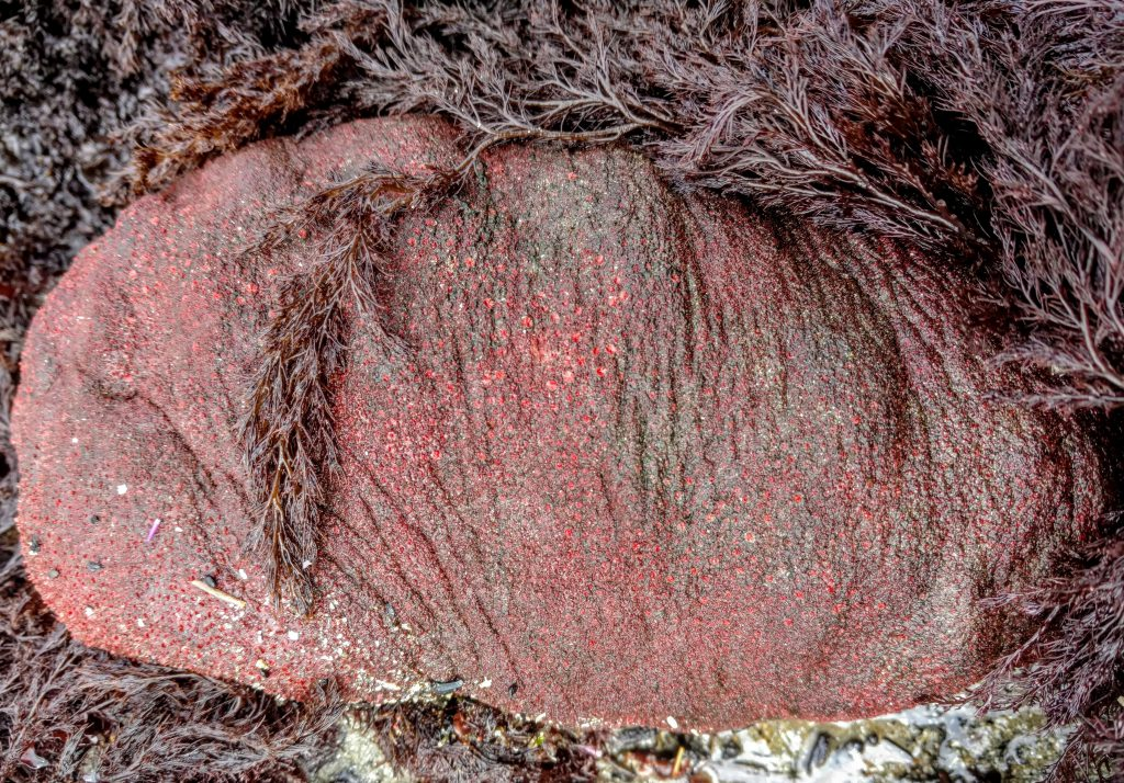 Gumboot Chiton - Stephen Grace