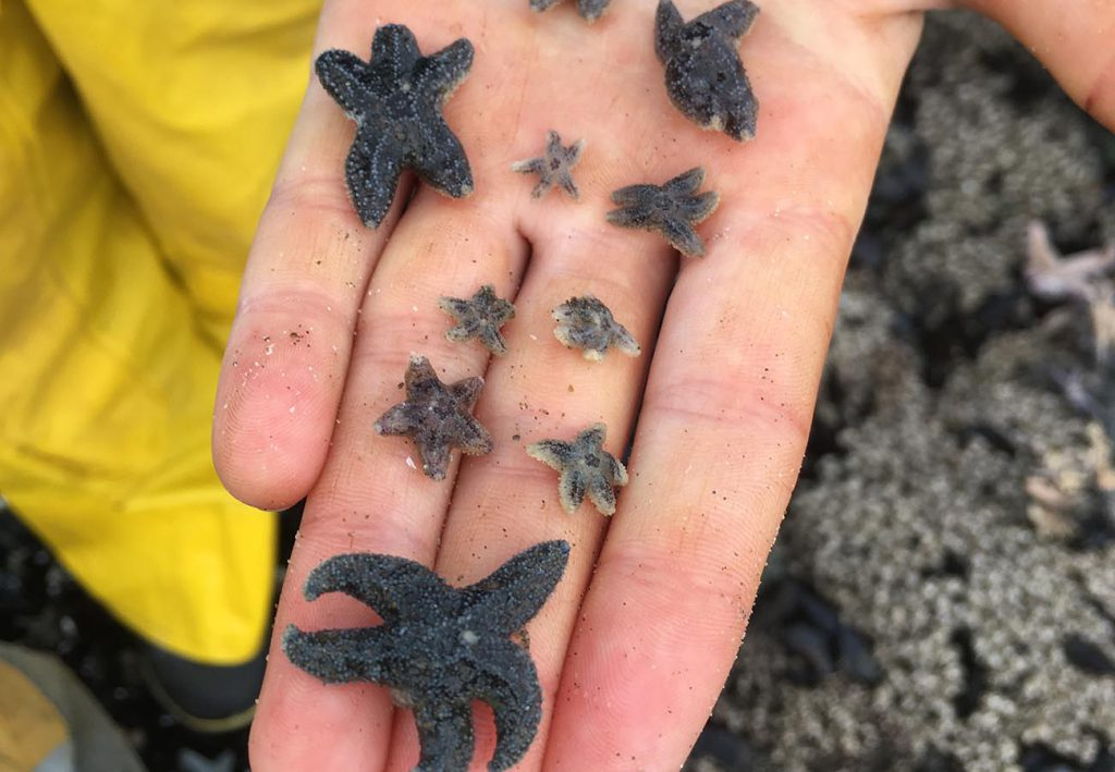 Juvenile Sea Stars