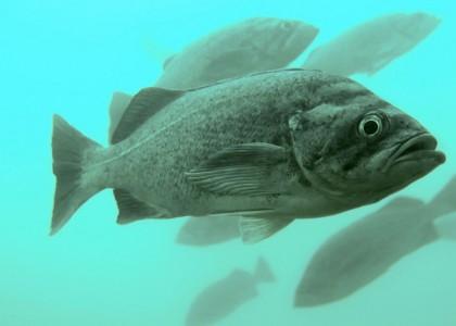 Deacon rockfish school off of the Oregon coast