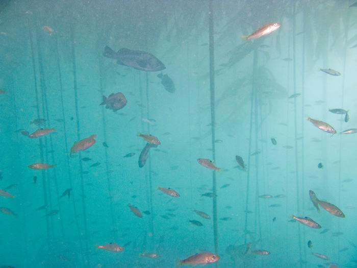 Kelp forests are important to adult and juvenile rockfish ecology.