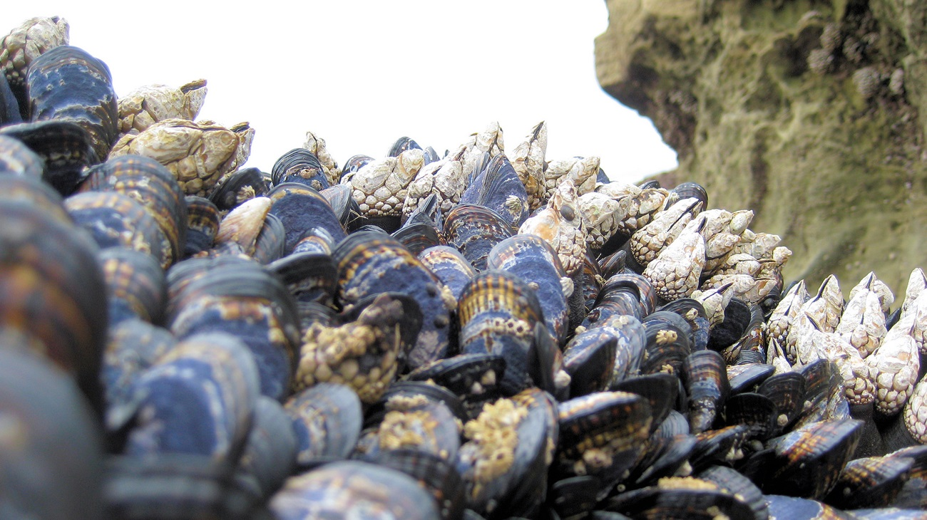 Mussels and barnacles on rocky shore