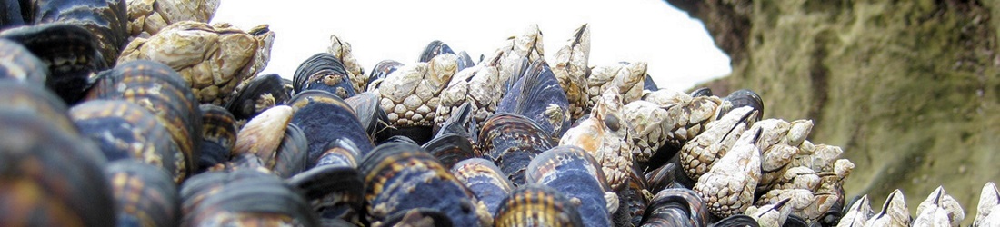 Mussels and barnacles along rocky shore.