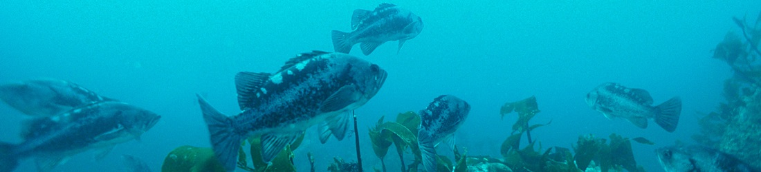School of rockfish.