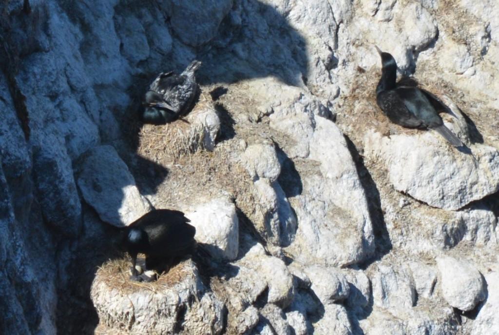 Brandts Cormorant Nesting