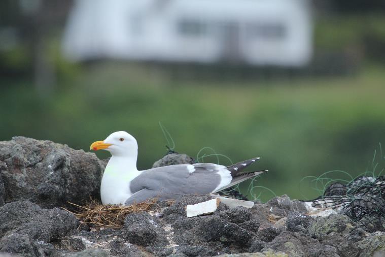 Tagged Western Gull