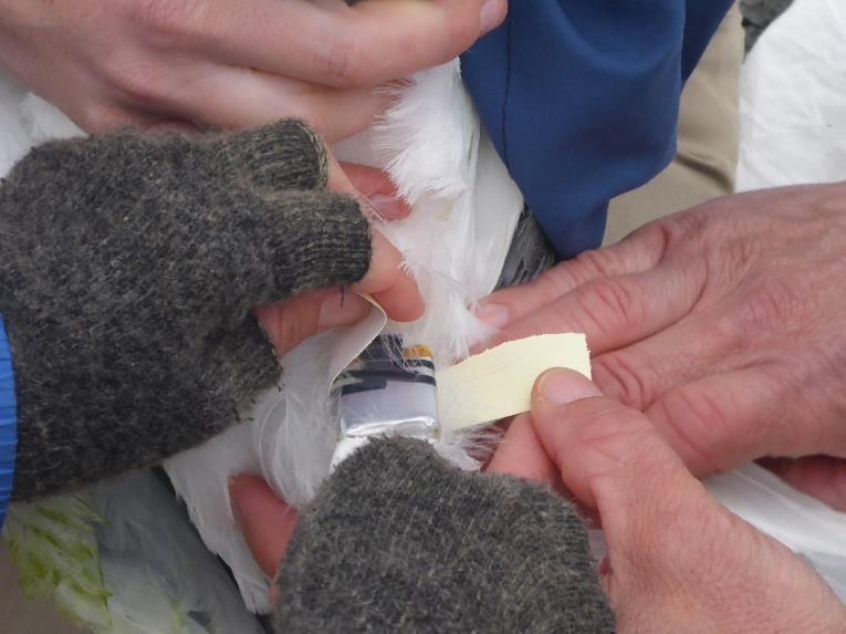 Tagging Western Gull