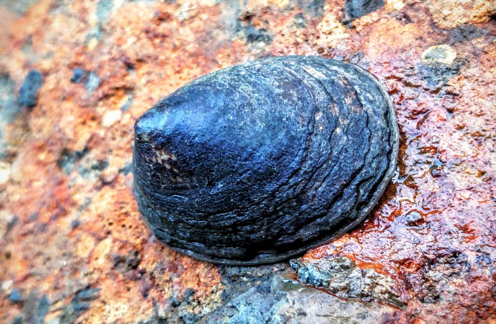 Limpet (Photo by Stephen Grace)